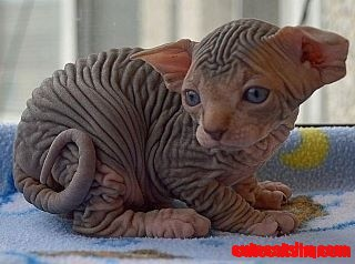 Baby sphinx kitty
