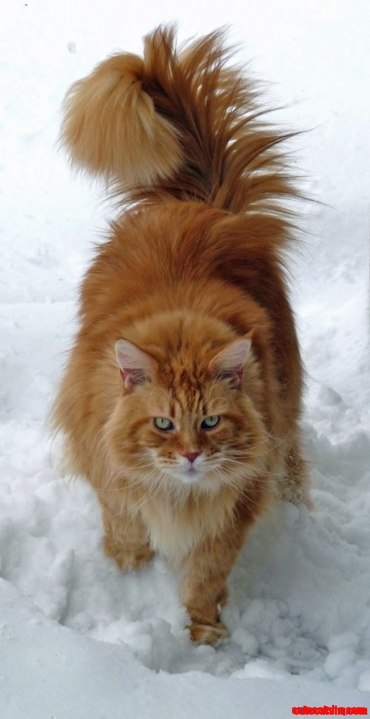 classic red maine coon cat in snow cute cats hq pictures of cute cats and kittens free. Black Bedroom Furniture Sets. Home Design Ideas