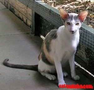 Oriental Bicolour cat