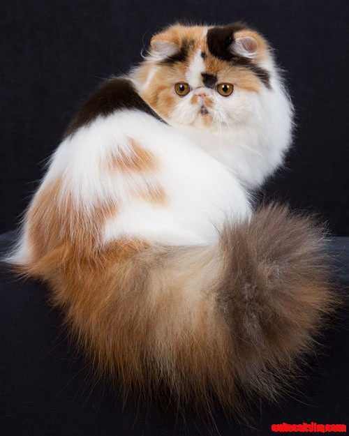 Persian Cat: Cute Cats And Kittens: Persian Cat Tail