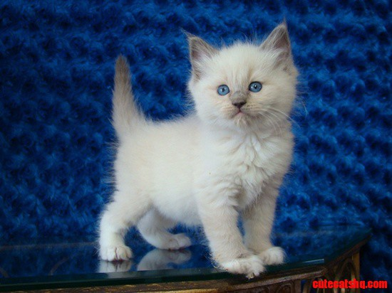 ragdoll kitten cute cats hq pictures of cute cats and kittens