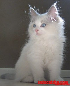 Ragdoll kittens are the cutest