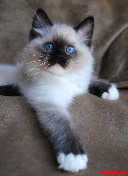 siamese kitten  piercing blue eyes cute cats hq