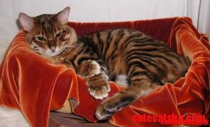 Toyger Cat Breed.  Must own one someday!  Sooooo pretty!