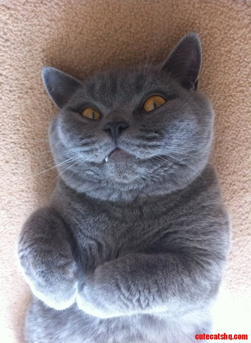 Vampire Cat Cute Cats Hq Pictures Of Cute Cats And