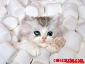 kitty puffs