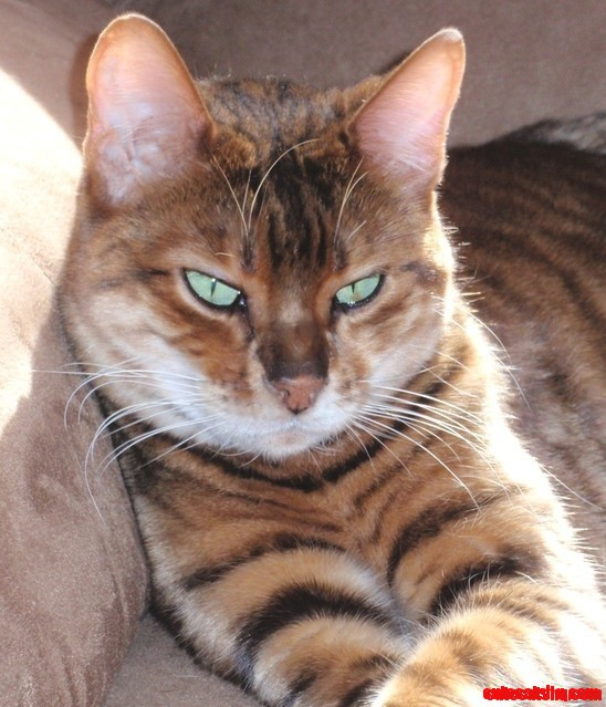 My New Favorite Cat Breed – The Toyger – (mini-tigers!)
