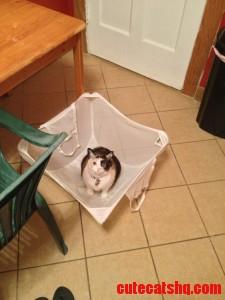 my cat loves laundry day.