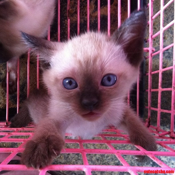 Friend Saw This Siamese Kitten While Traveling In Thailand.