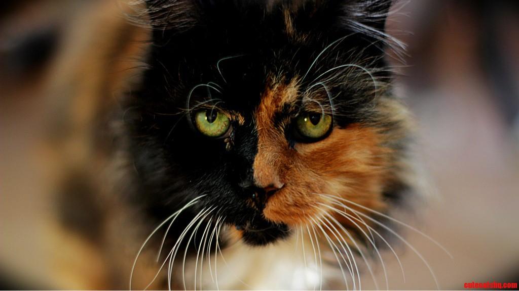 Meet My Cat  Phantom