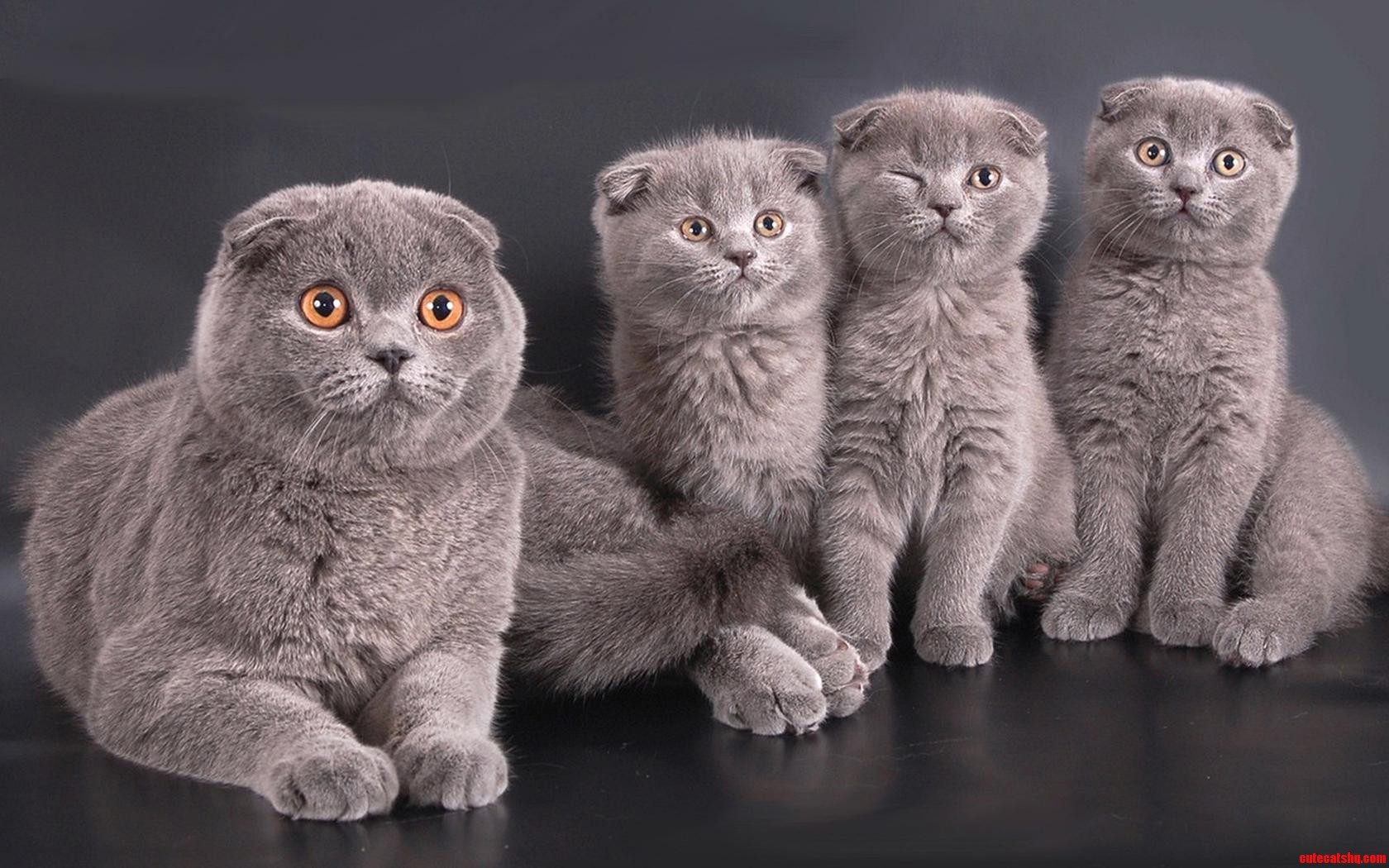 британские коты обои на рабочий стол