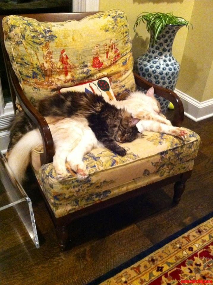 My Friends Maine Coon Siblings All Over Each Other
