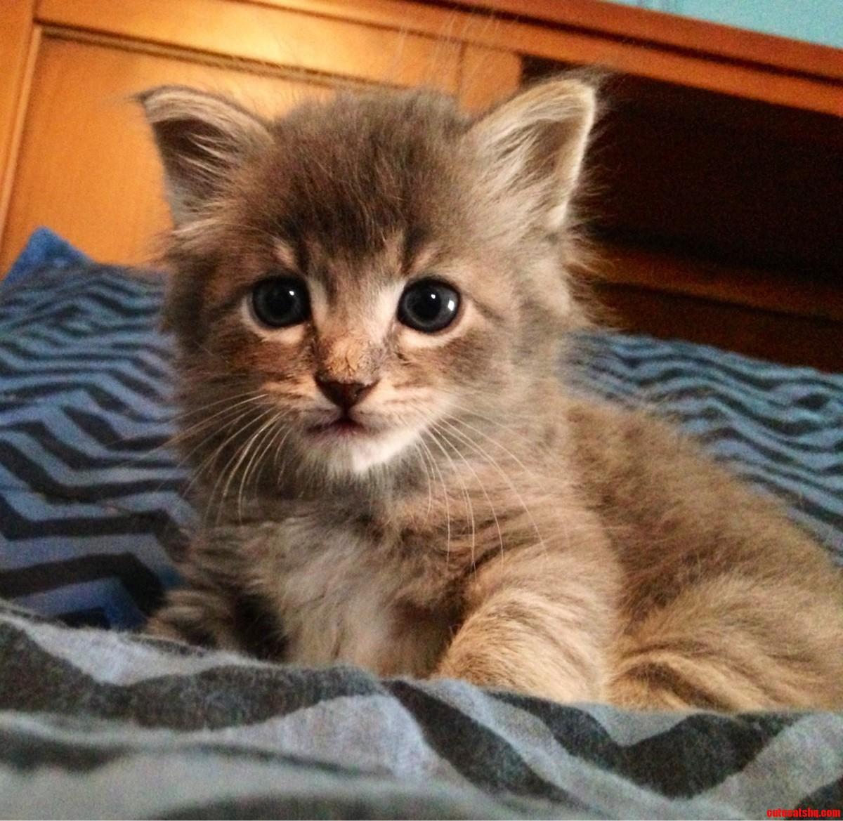 My Maine Coon Kitten