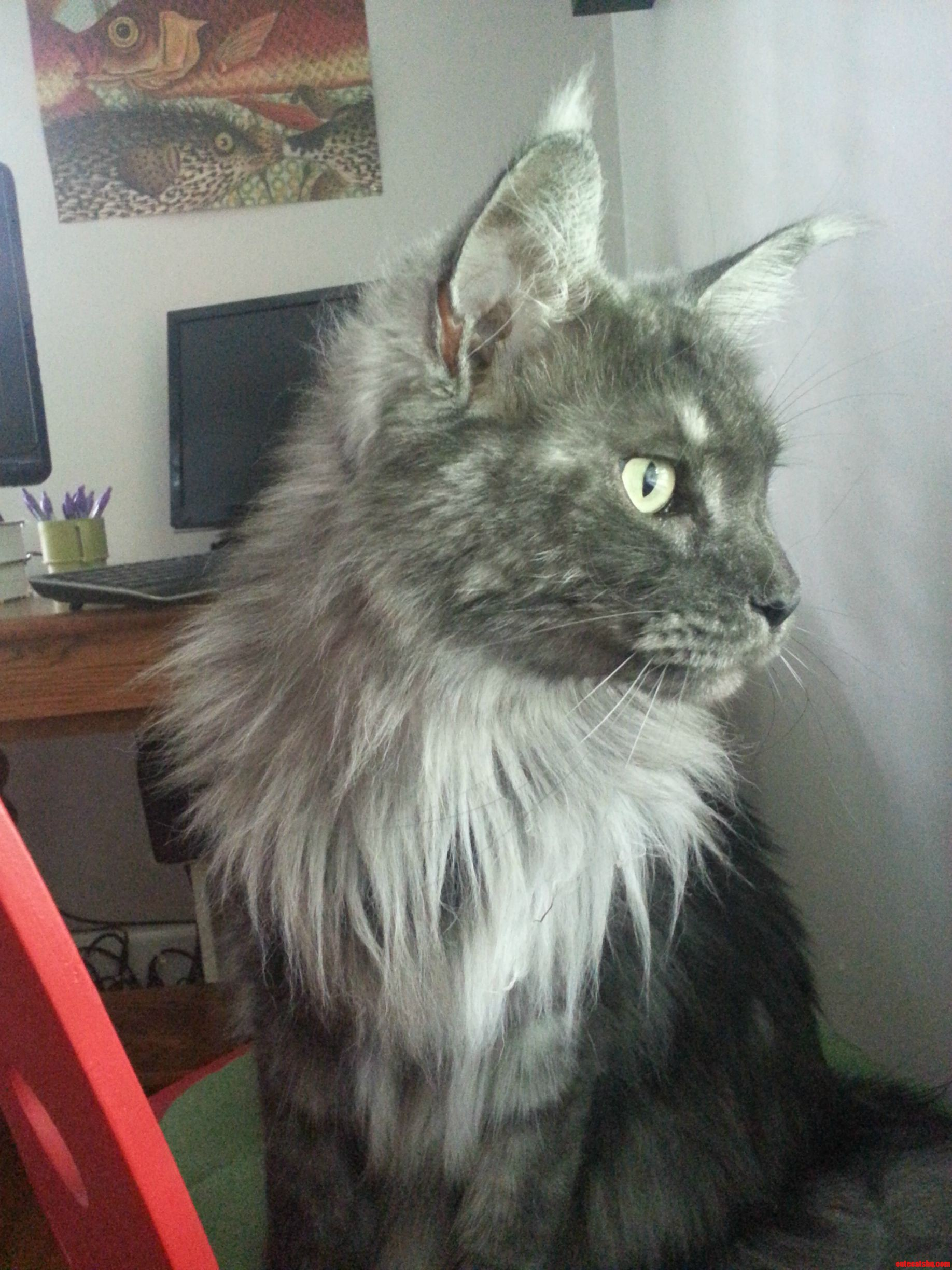 Our 3Yr Old Maine Coon.