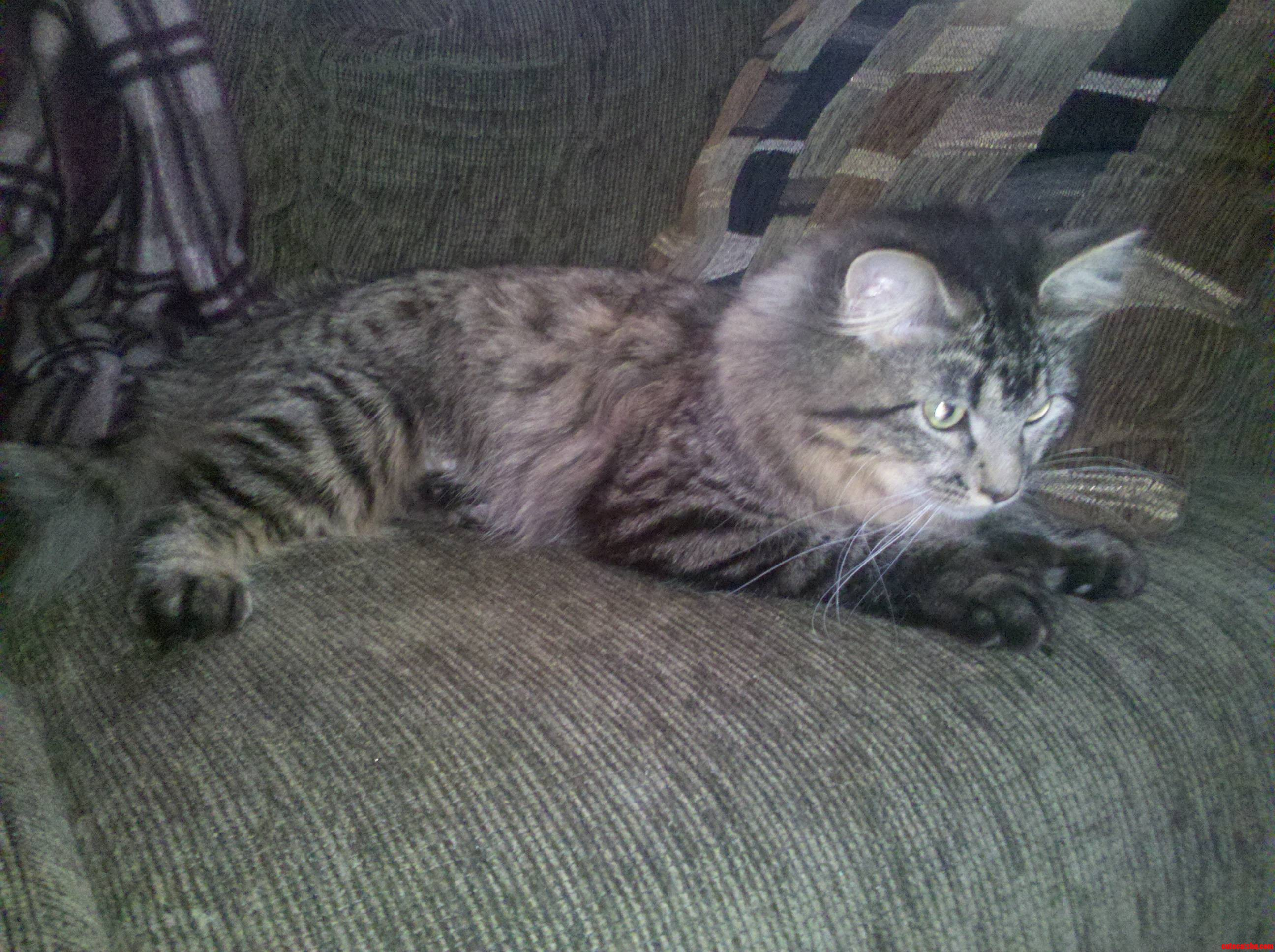 Our New Maine Coon Cat Blending In With The Couch