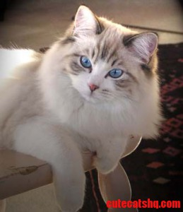 Adult Ragdoll cat