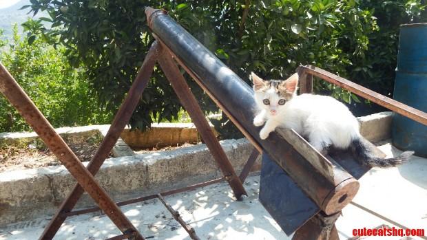 Syrian Cat On Rocket