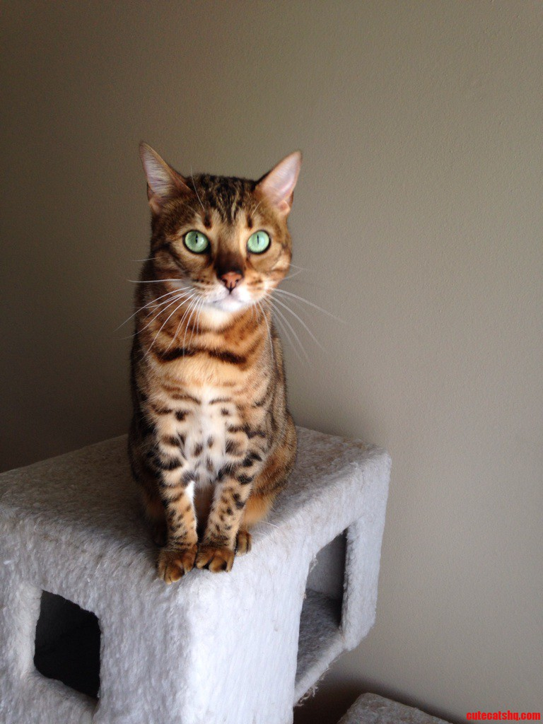 Bell The Bengal.