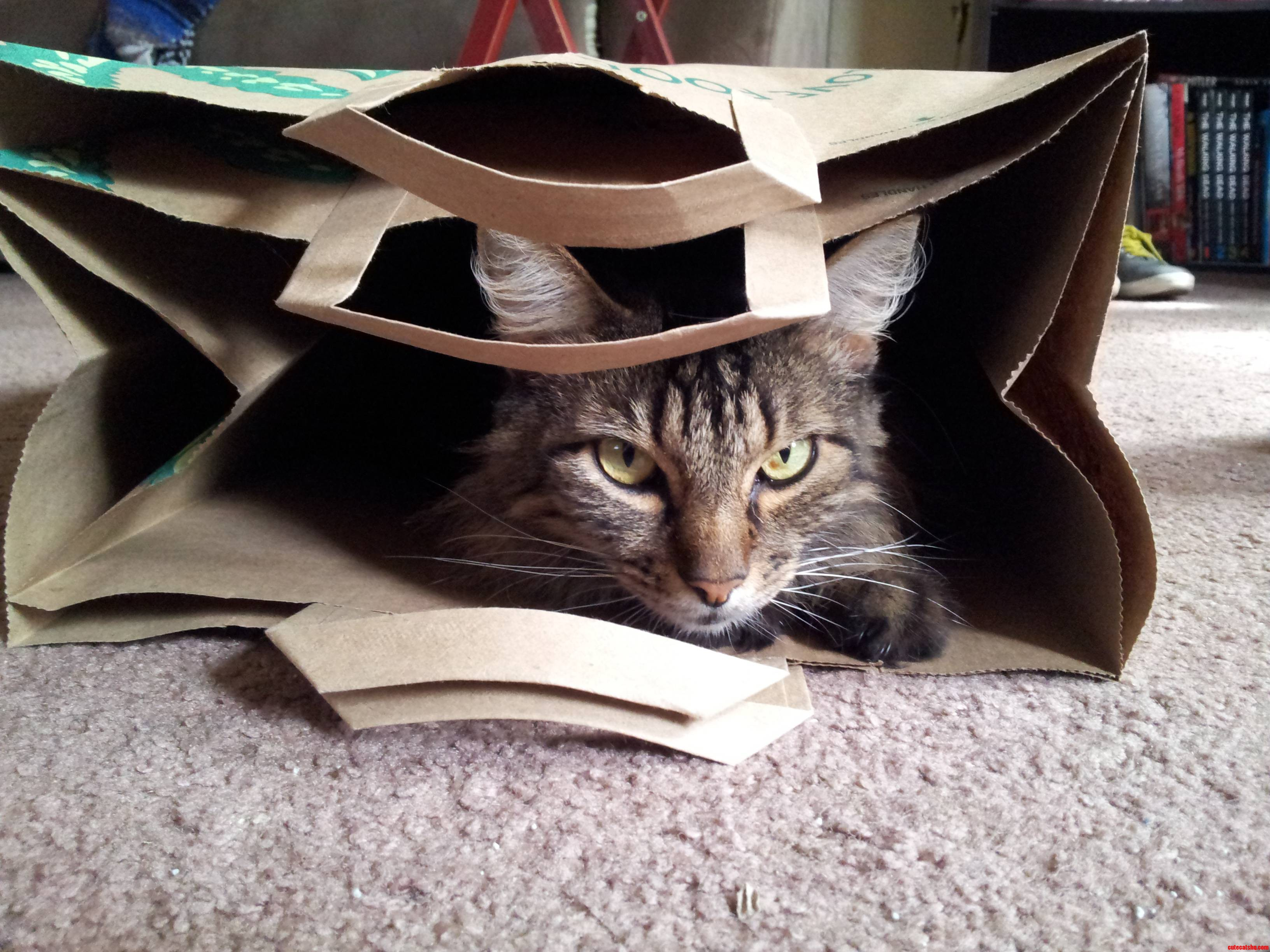 My Cat Likes Bags Even More Than Boxes.