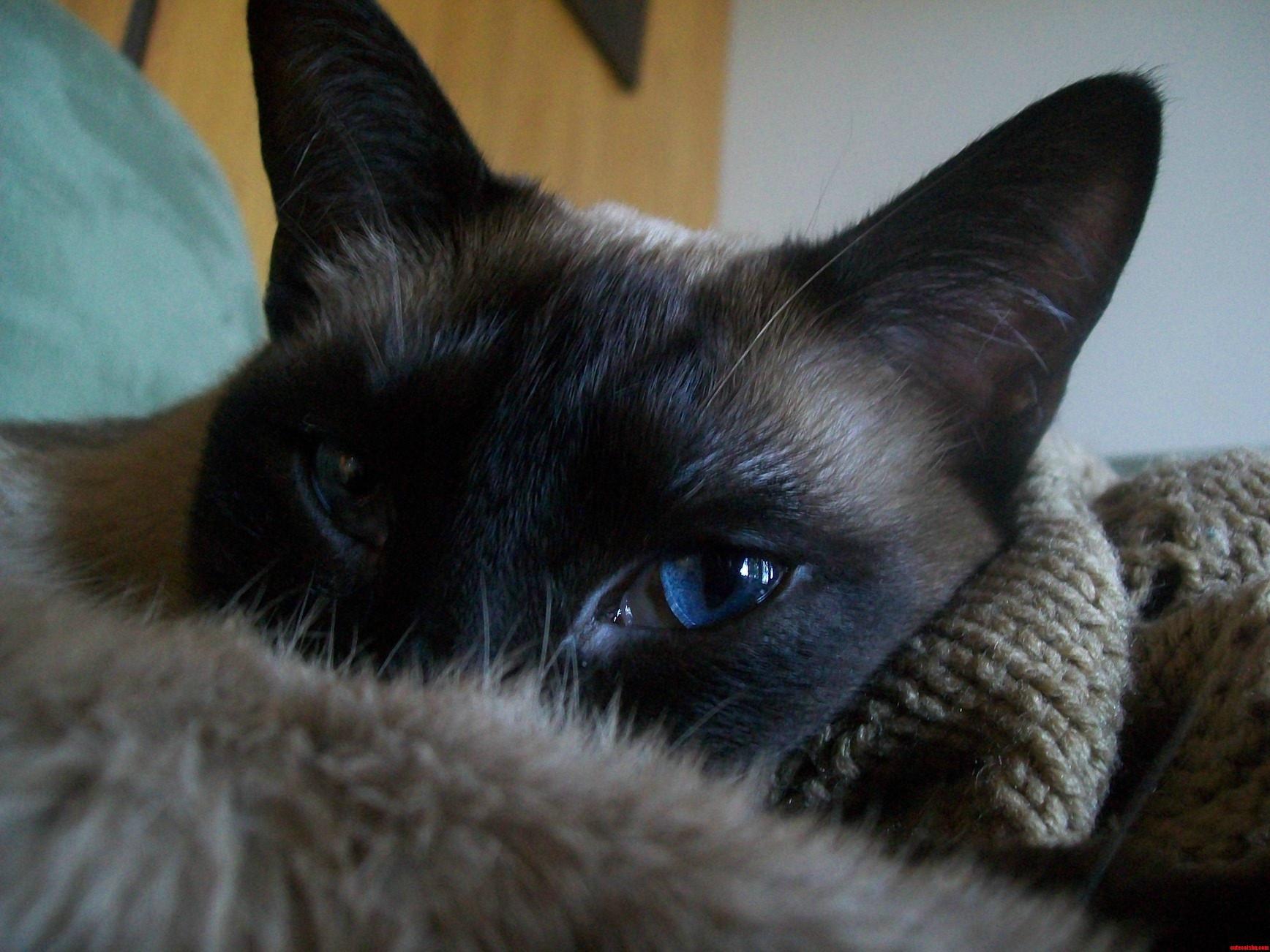 My Cat Magnus Has Crazy Blue Eyes