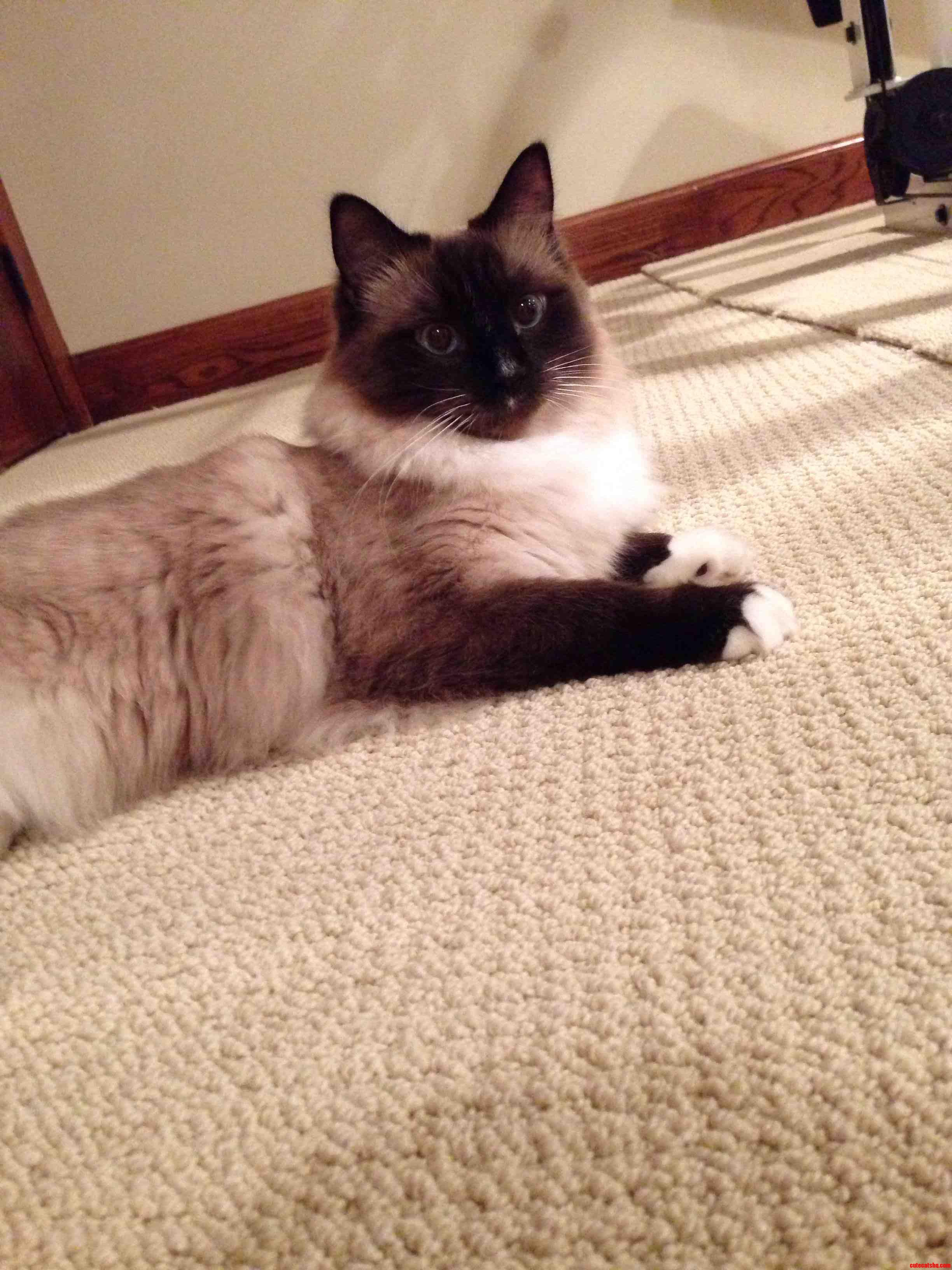 My Ragdoll Clyde Is The Best.