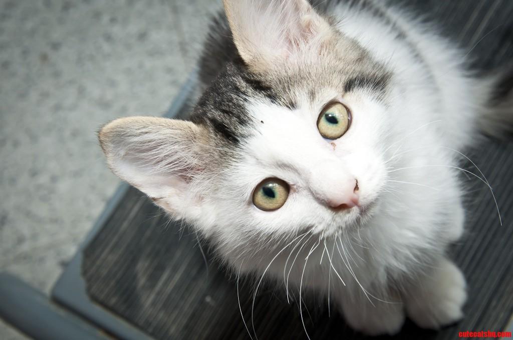 Toronto Cat Rescue Kitten Kingsley
