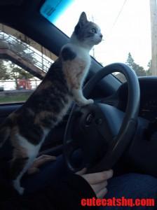 Cat Driving 101