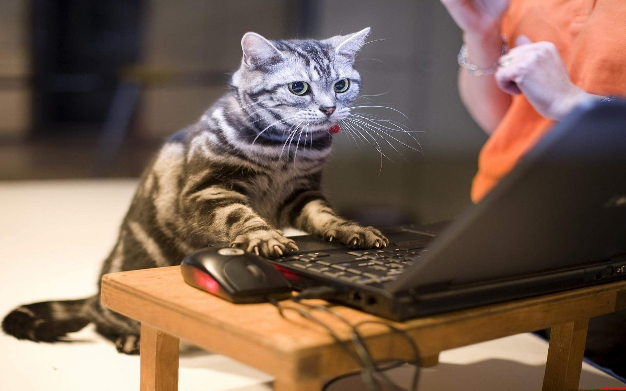 Cat Working With Computer