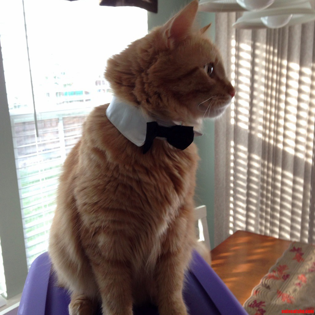 Dapper Cat. The Bow Tie Didnt Last Very Long.