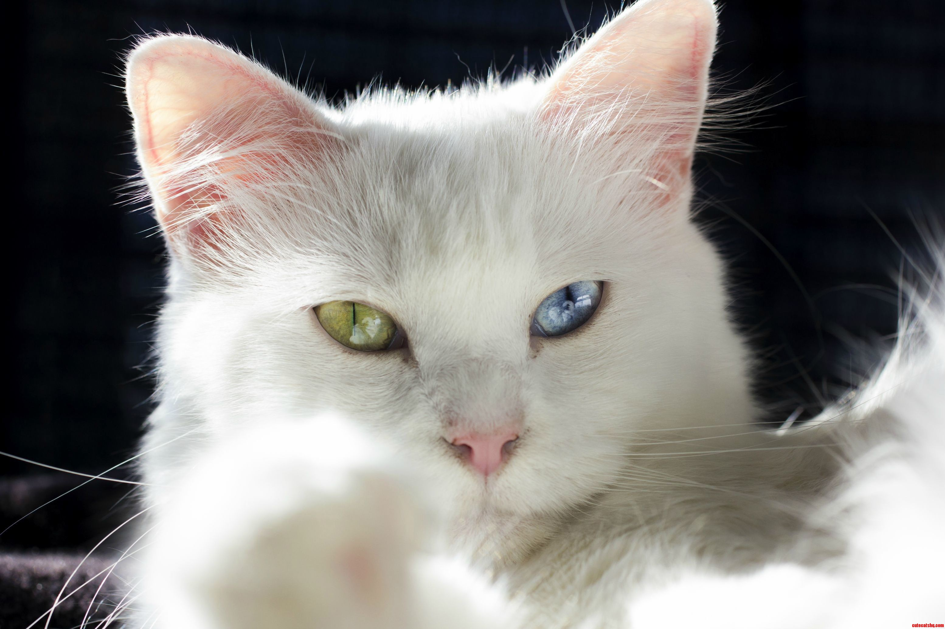 Cute Cats And Kittens Heterochromia Iridum Two Different