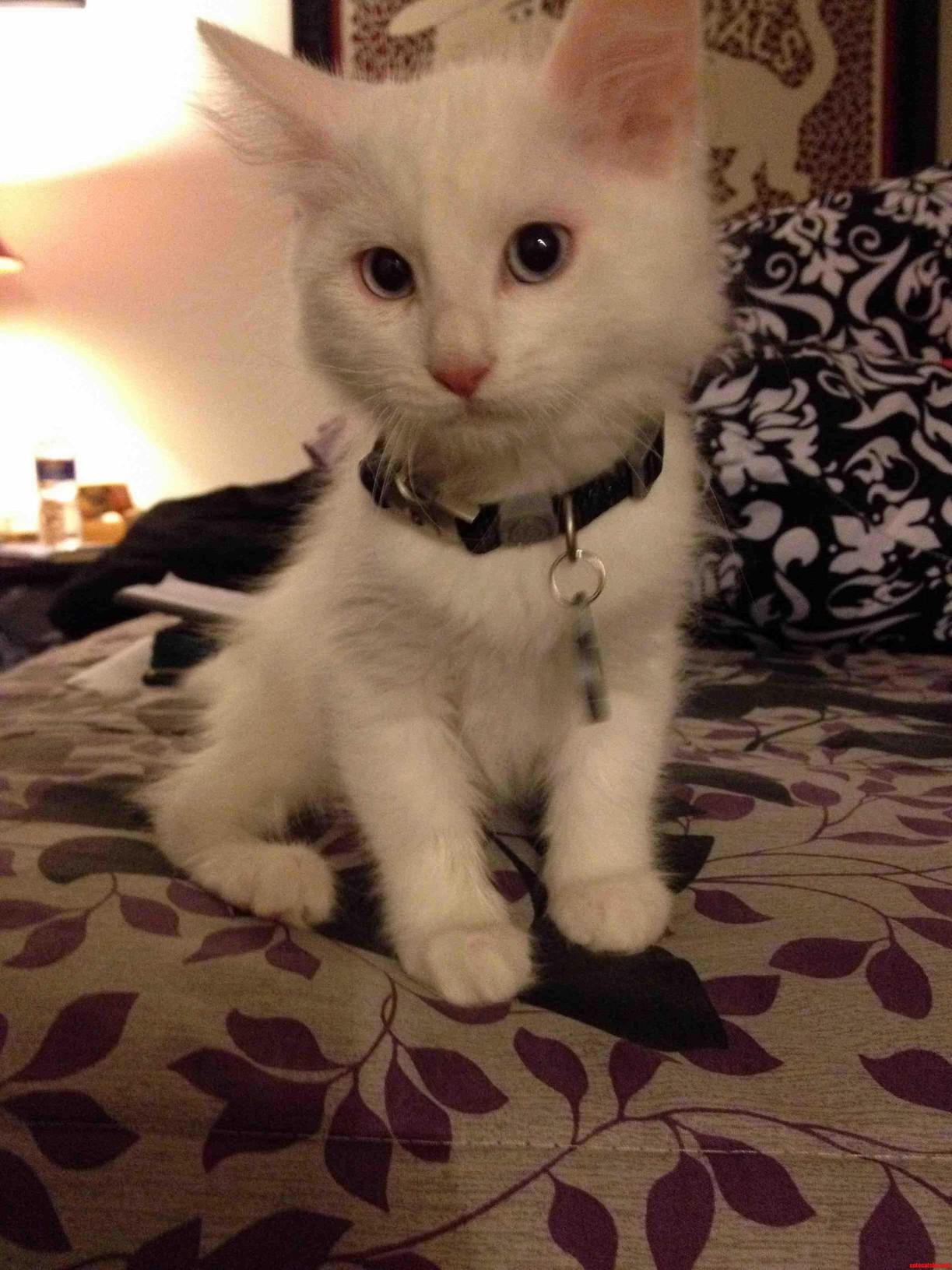 Meet Jambi The 10 Week Old Turkish Van Kitten