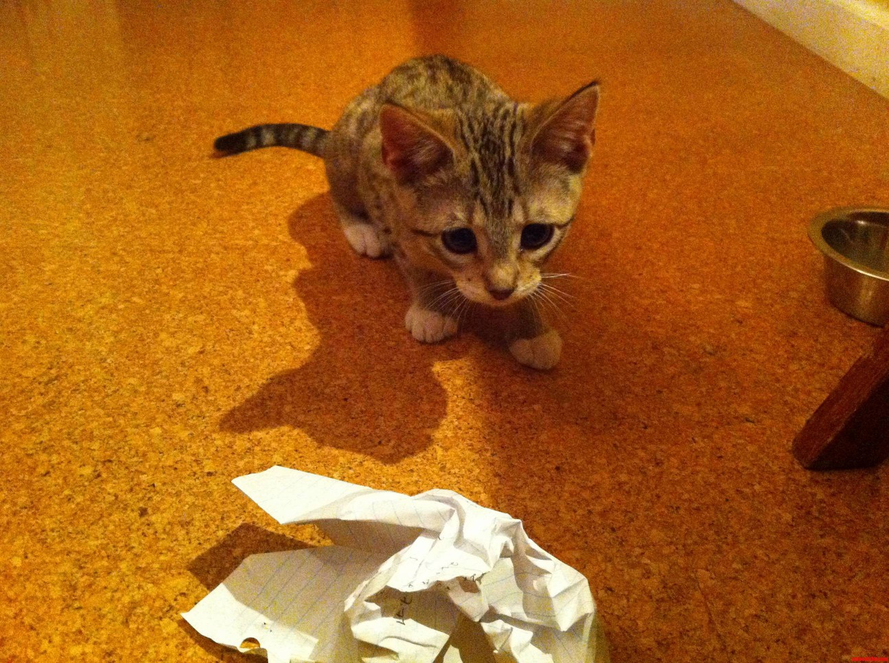 My Bengal Kitty About To Pounce On A Piece Of Crumpled Up Paper