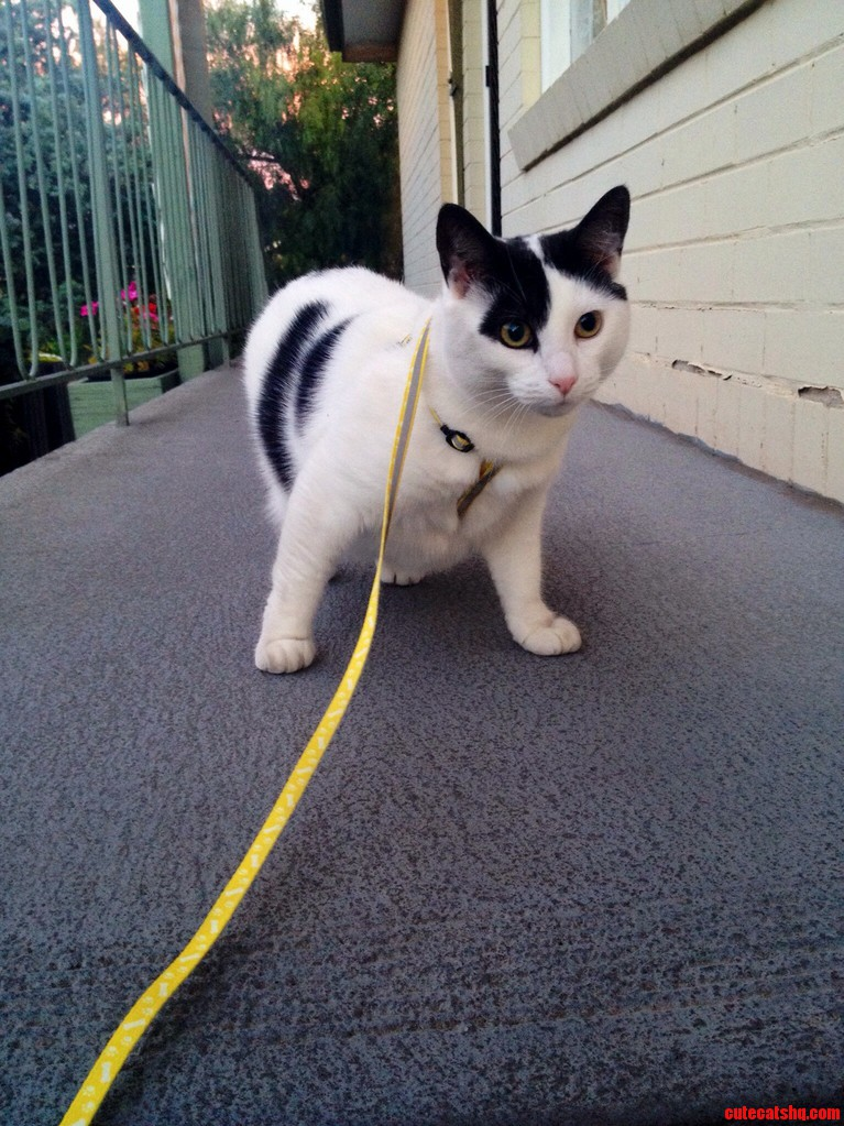 My Cat Likes Going For Walkies.