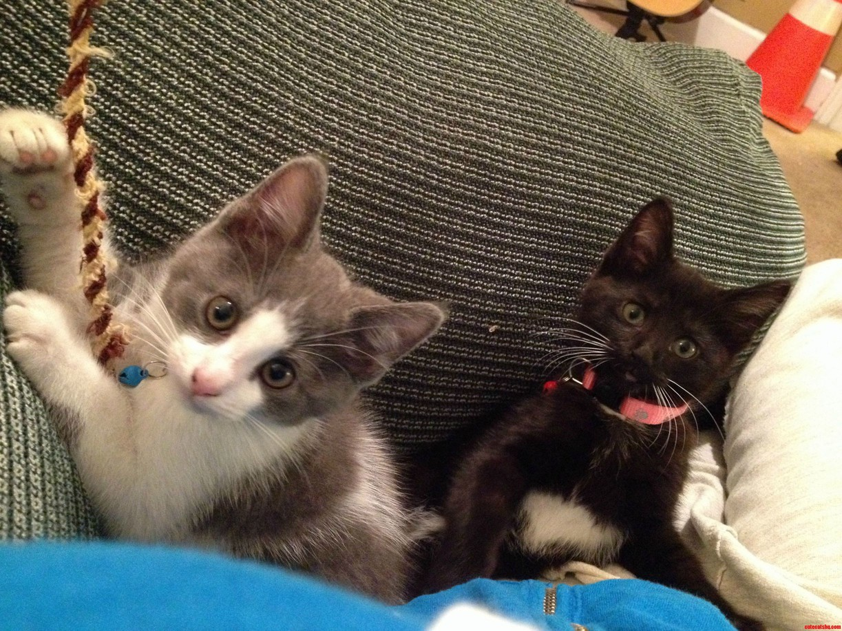 My Friends Roommates 10 Month Old Kittens Paul Grey And White And Lilly Black