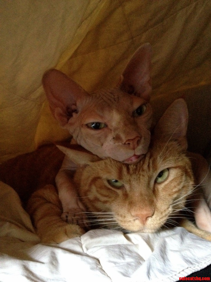 My Sphynx Likes To Use My Other Cat As A Pillow.