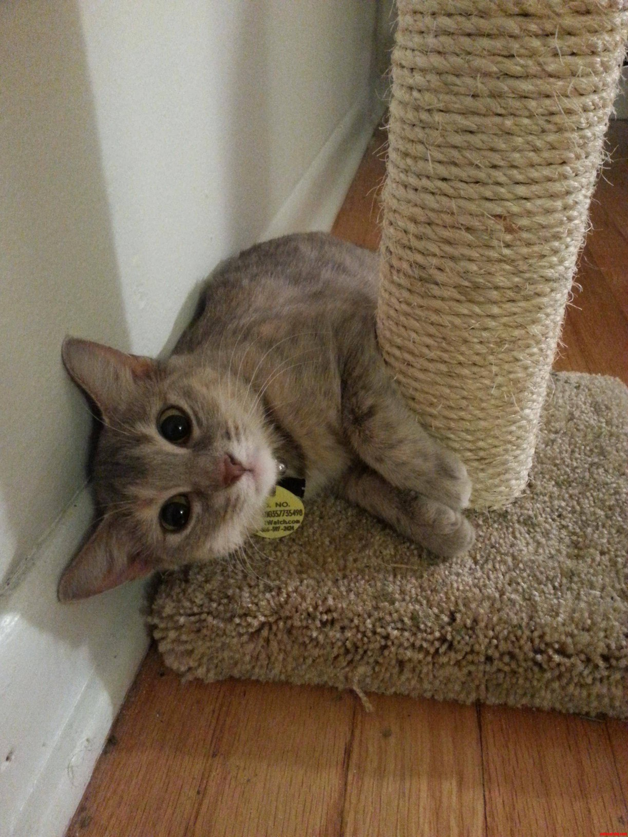 New Kitty – Adorable Dilute Tortie