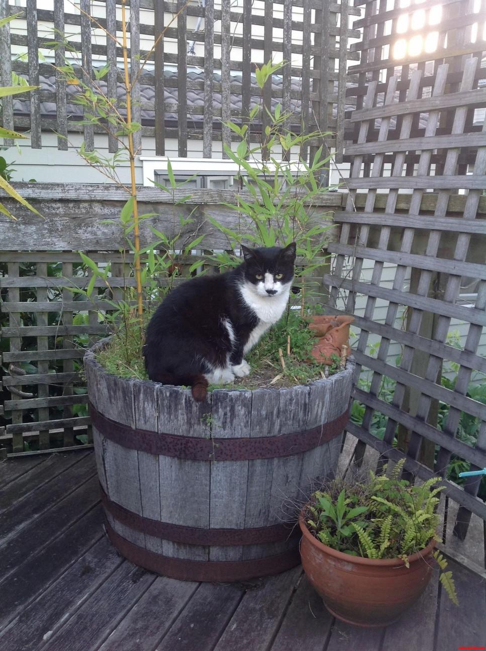 Pandacat In Its Natural Habitat