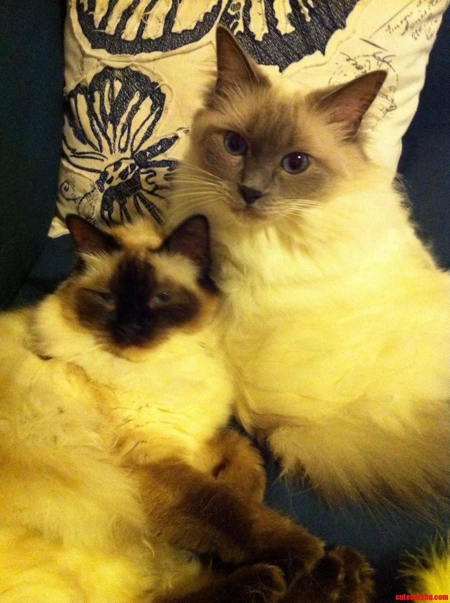Ragdoll Sibling Love