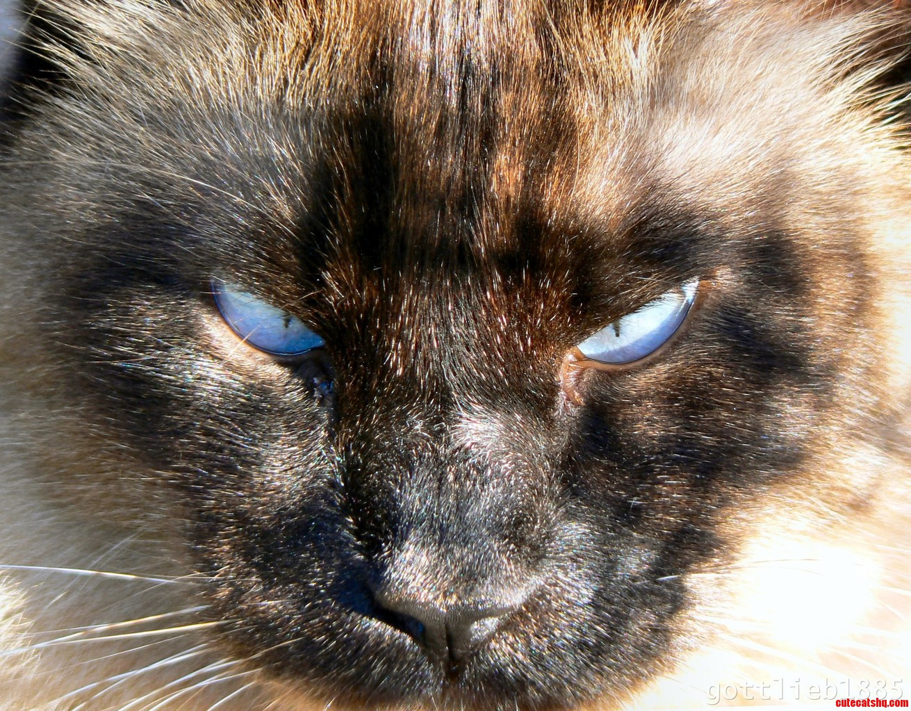 Awesome Closeup Of My Seal Point Balinese Cat Mister Muff