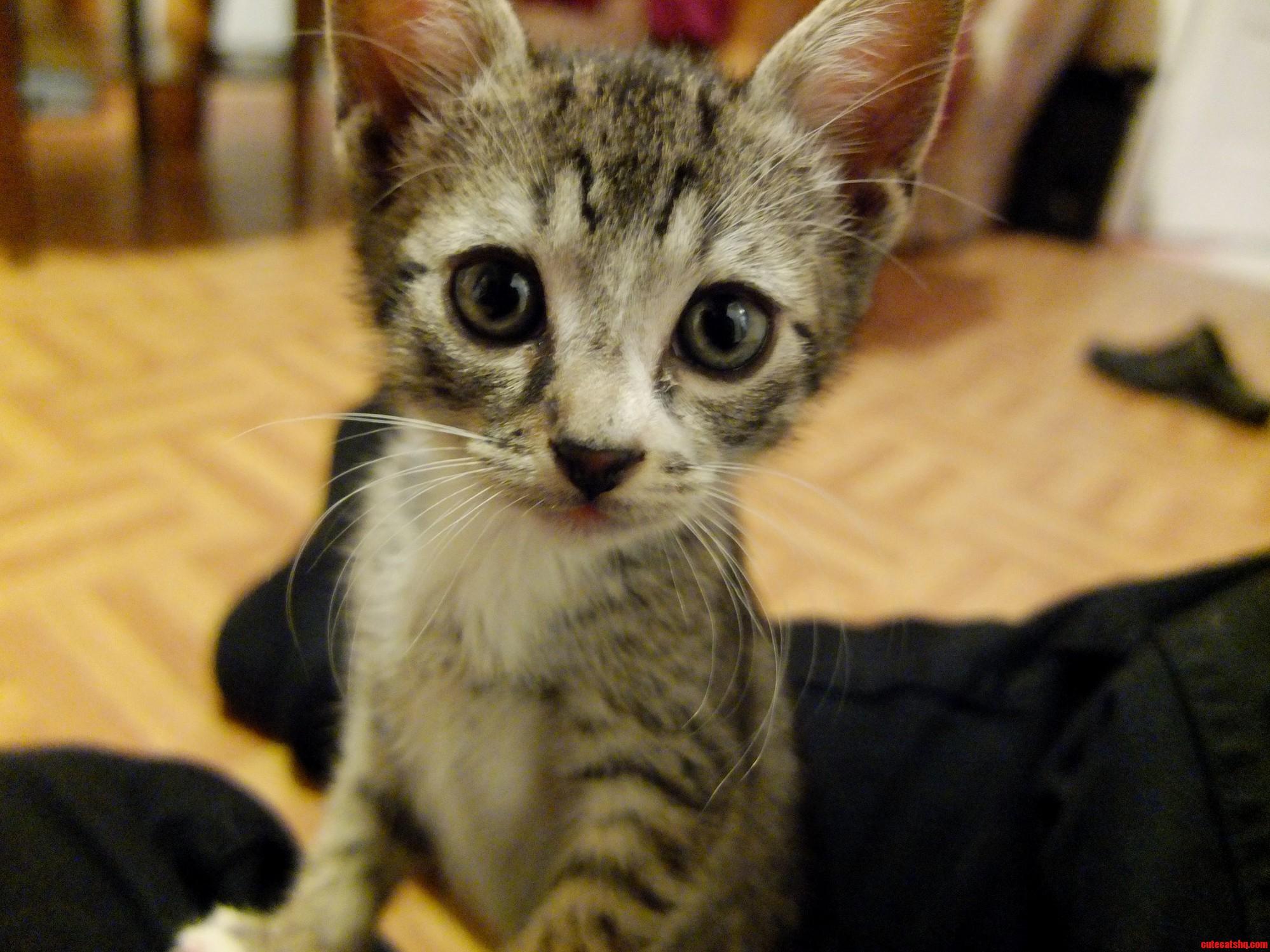 Curious Kitten Loki
