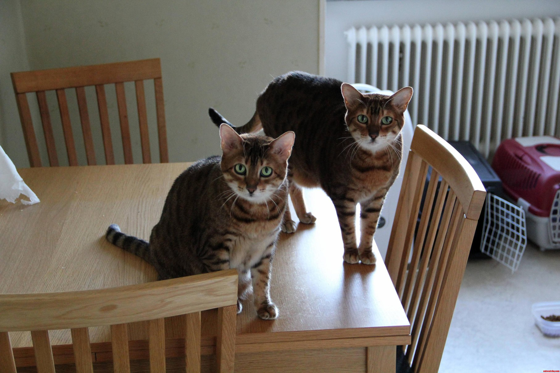 Im Catsitting These Little Monsters Over The Weekend Bengals