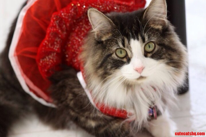 Is There Such Thing As A Cat Modeling Agency Because Frank Looks Really Good In A Dress…