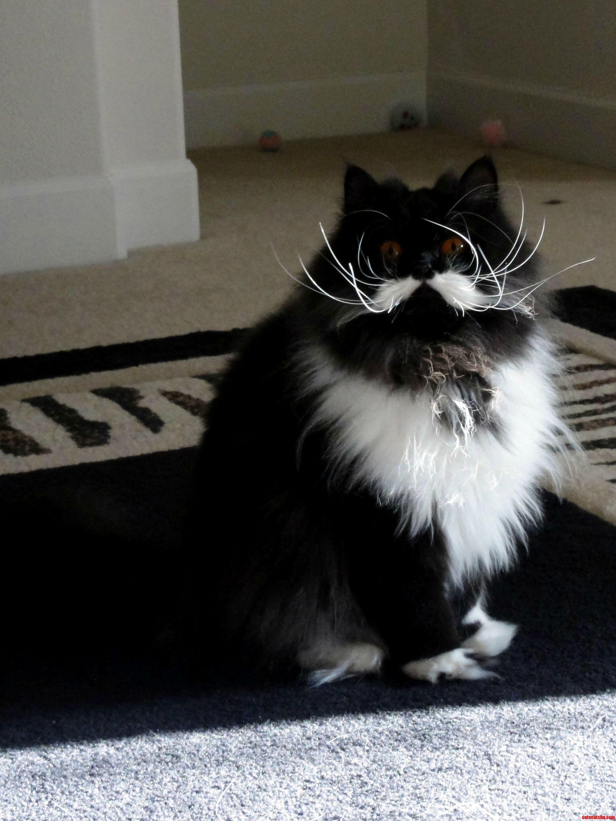 Marvelous Mustachioed Persian Named Midori