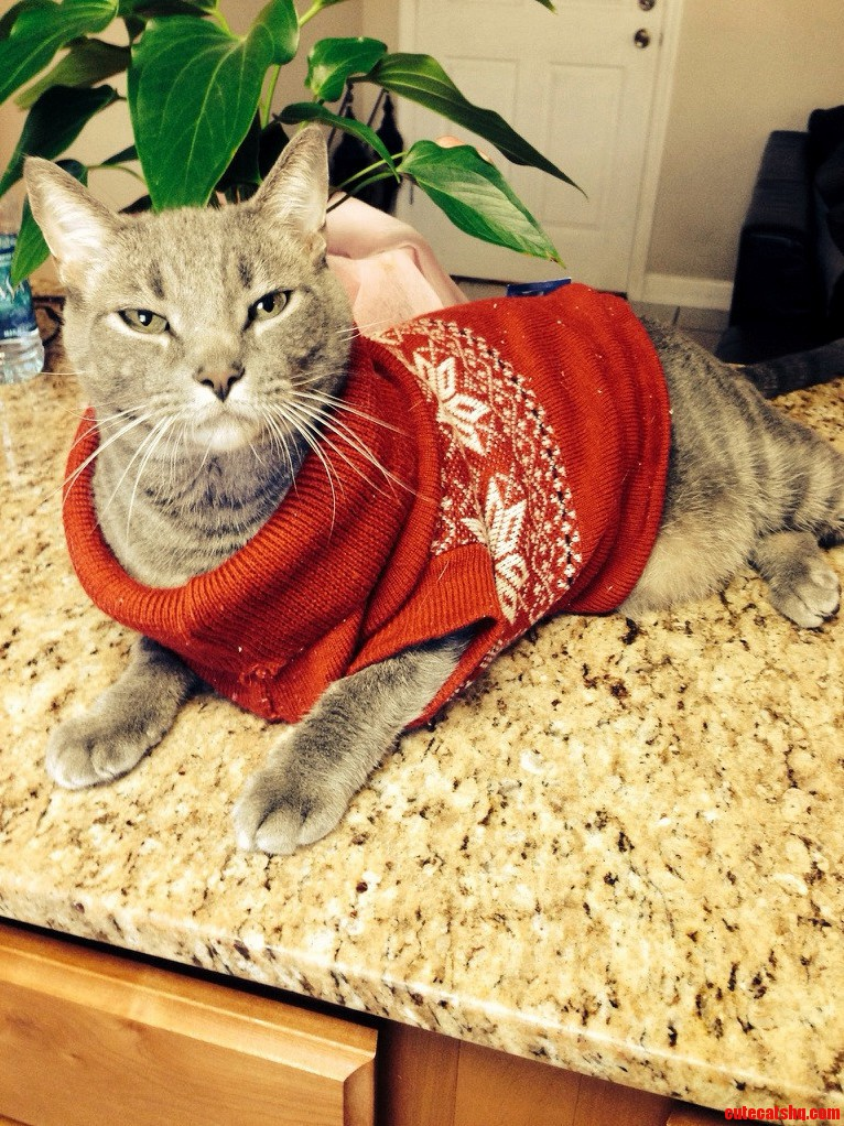 Merry Christmas From Luigi… A Fat Cat In A Sweater