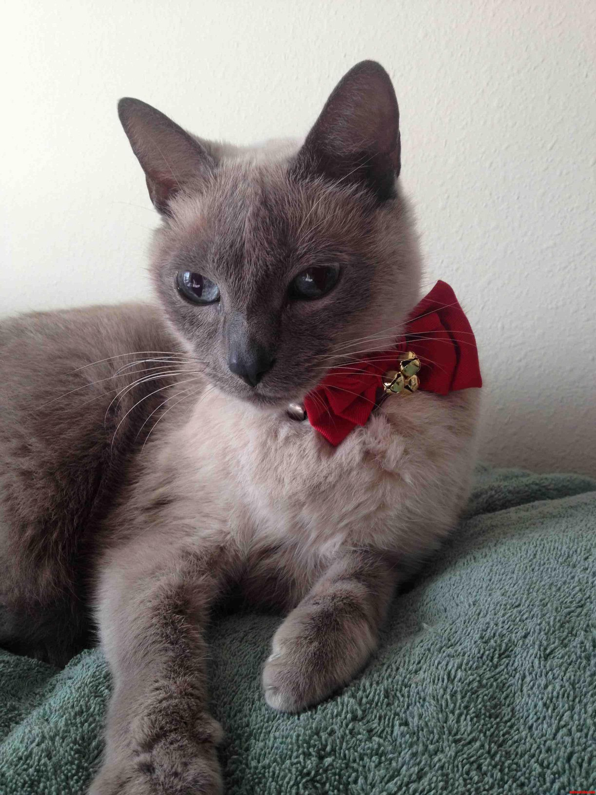 Merry Christmas From My Adorable Siamese Kitty