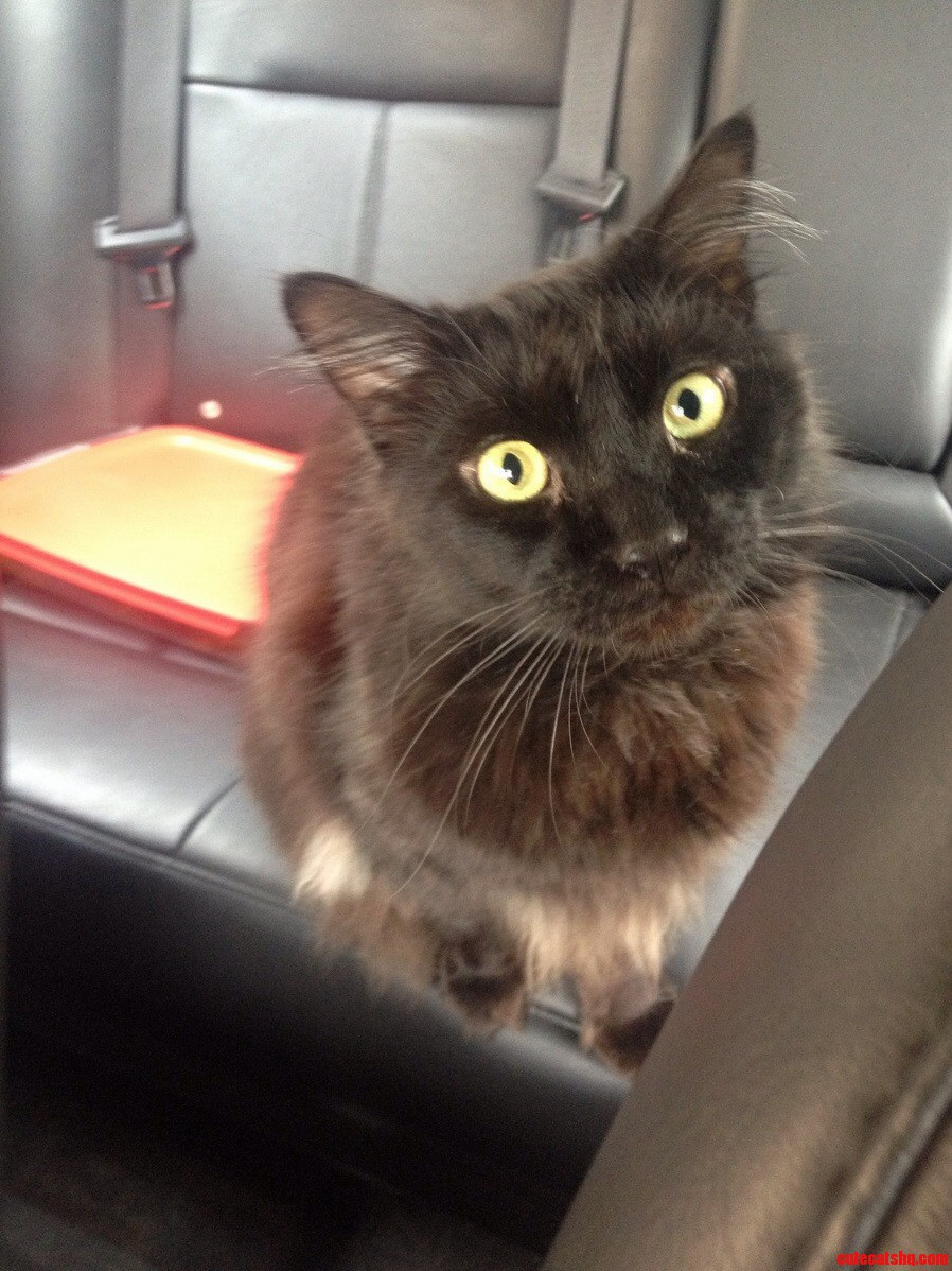 Midnight Loves Riding In The Car Without A Carrier