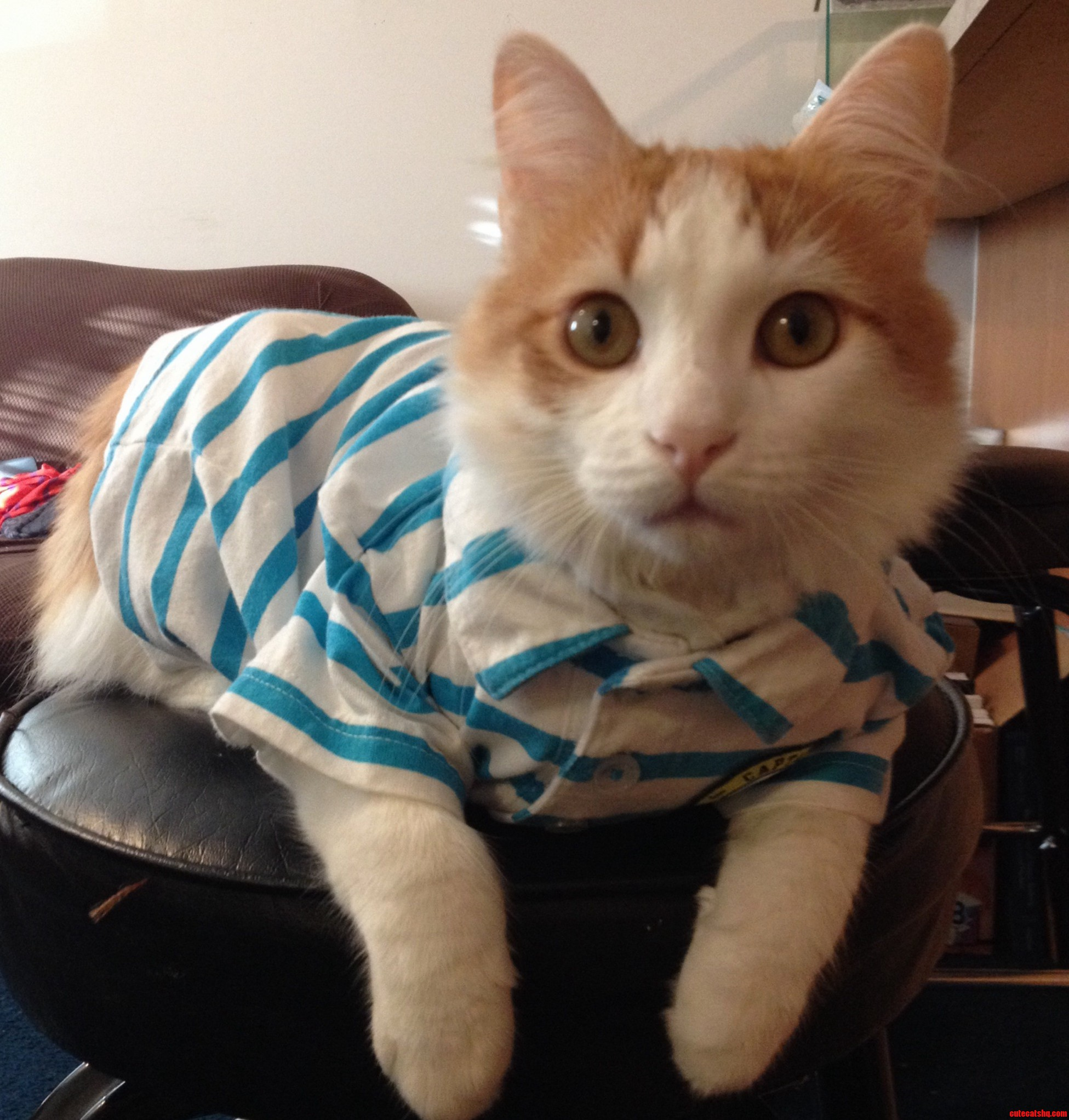 My Cat Theodore Wearing A Polo.