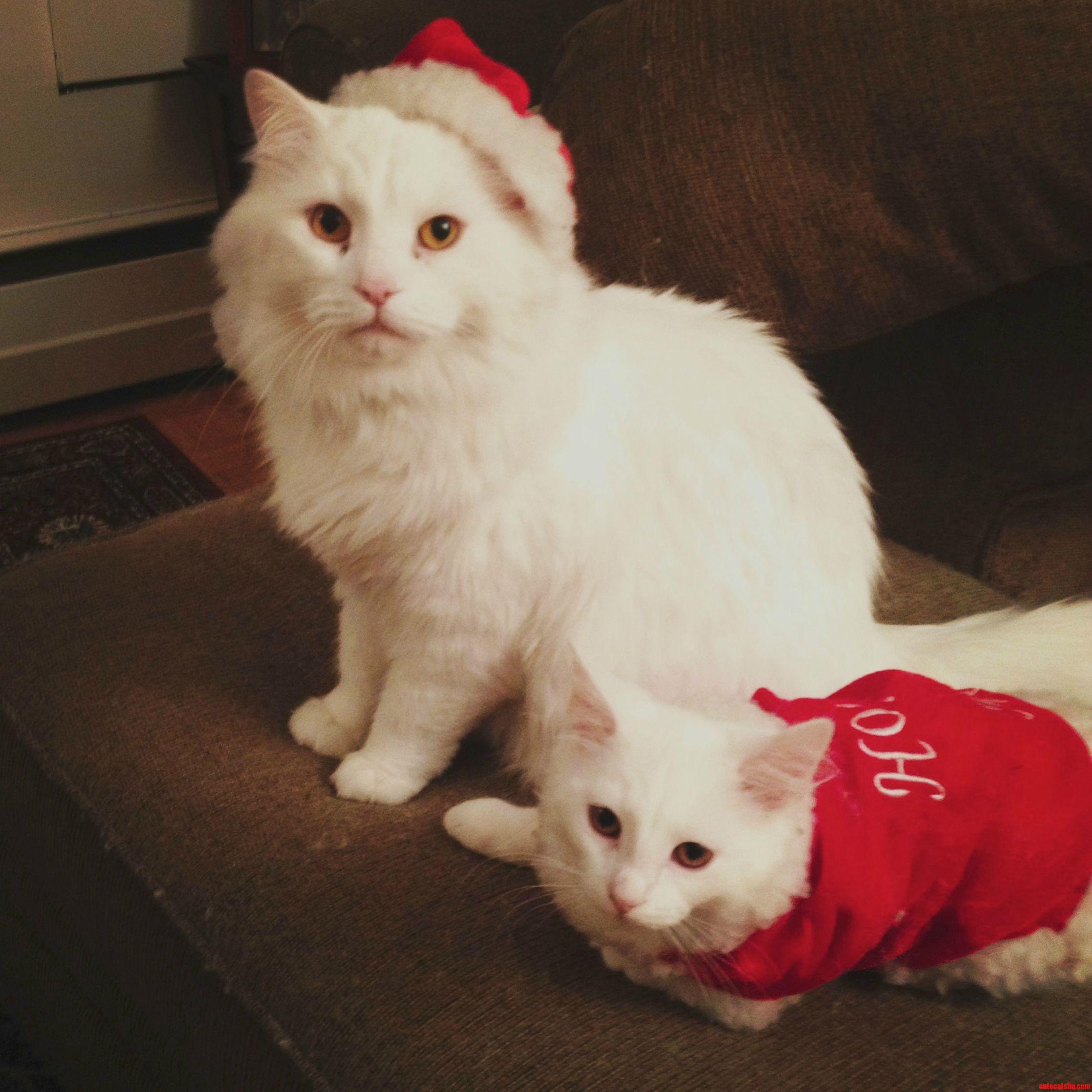 My Christmas Kitties