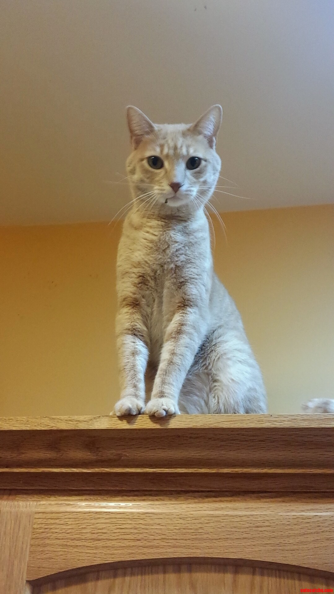 My Parents Cat Likes To Climb On Top Of The Kitchen Cabinets. Meet Lincoln.