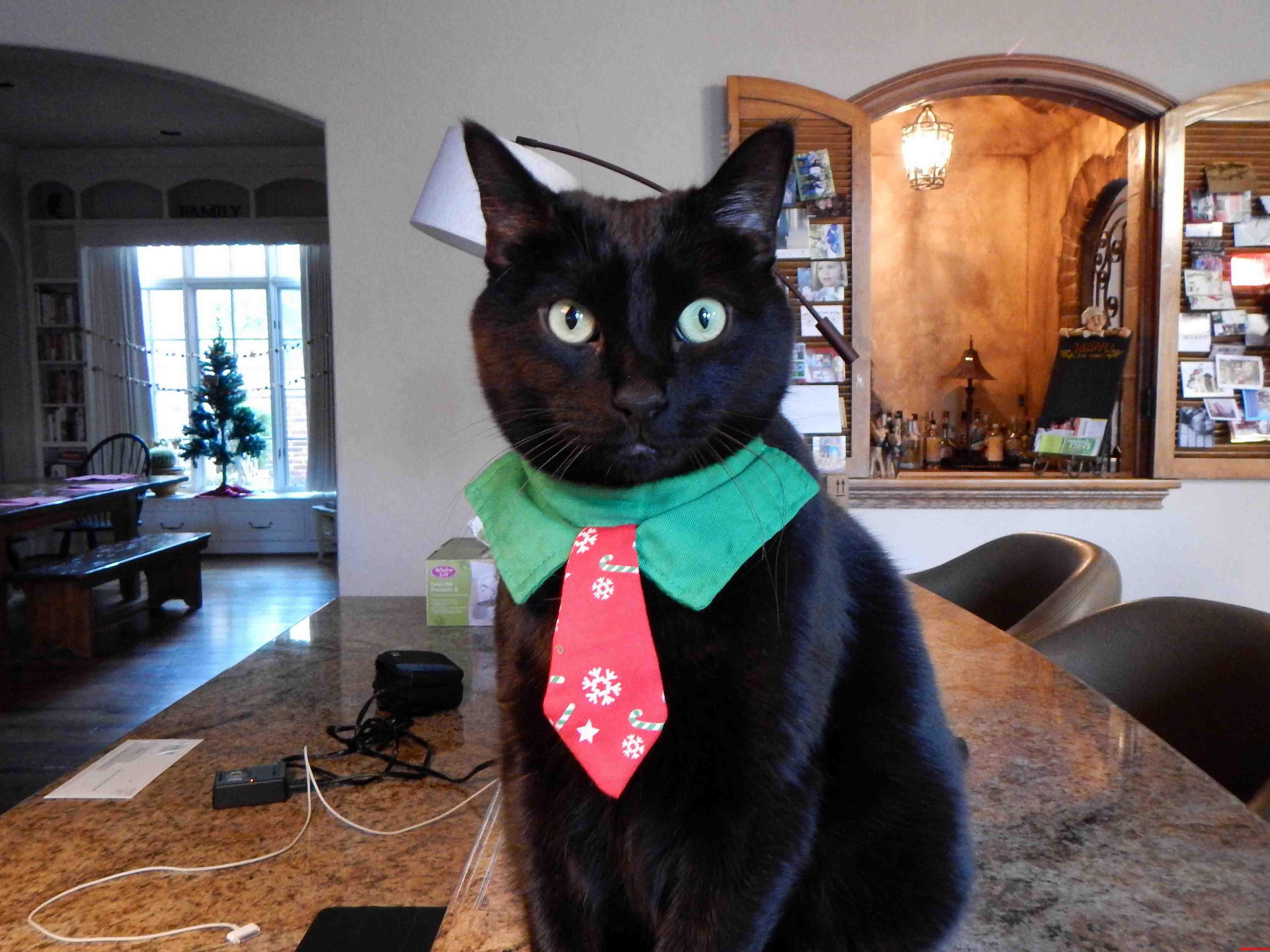 My Pretty Business Cat Kitty X-Post From Raww